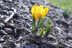 Vernus крокуса в цветени, желтых цветках Стоковое Изображение