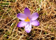 Vernus крокуса - цветок шафрана Стоковые Фотографии RF