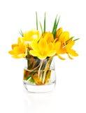 Vernus amarelo do açafrão Fotografia de Stock Royalty Free