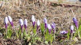 Vernus bonito Picwick do açafrão das flores Fotos de Stock Royalty Free