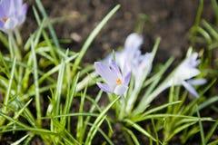 Vernus del azafrán Foto de archivo libre de regalías