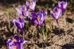 Vernus do açafrão em montanhas carpathian Fotos de Stock Royalty Free