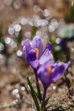 Vernus do açafrão em montanhas carpathian Imagem de Stock