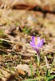 Vernus do açafrão - flor do açafrão Foto de Stock