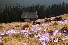 Vernus do açafrão - flor do açafrão Fotos de Stock