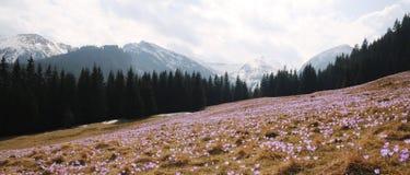 Vernus do açafrão - flor do açafrão Fotos de Stock Royalty Free