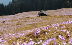 Vernus do açafrão - flor do açafrão Fotografia de Stock