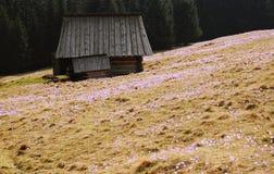 Vernus do açafrão - flor do açafrão Imagens de Stock Royalty Free