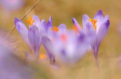 Vernus do açafrão - flor do açafrão Fotografia de Stock Royalty Free