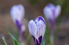 Vernus do açafrão na flor, flor decorativa listrada branca roxa violeta da primavera no jardim Foto de Stock