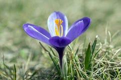 Vernus do açafrão na flor, flor decorativa roxa violeta da primavera com centro alaranjado Fotografia de Stock