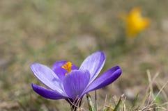 Vernus do açafrão na flor, flor decorativa roxa violeta da primavera com centro alaranjado Fotos de Stock