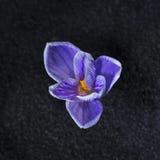 Vernus Pickwick de crocus Photo libre de droits