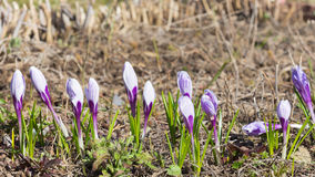 Vernus Picwick do açafrão das flores Fotografia de Stock