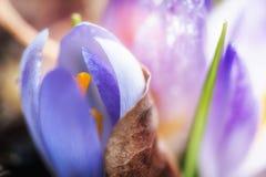 Vernus violeta do açafrão Fotografia de Stock Royalty Free