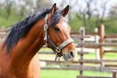 verão adiantado do close up da cabeça de cavalo da castanha Fotos de Stock