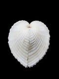 Vero cardio del cuore Immagine Stock Libera da Diritti