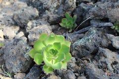 Verode, endémica de Canarias di planta Fotografia Stock