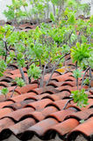 Verode jaune canari, (Aeonium), très curieux pour voir combien né dans l'ol Photos stock