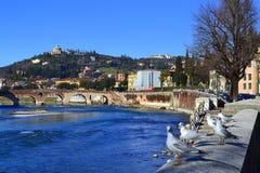 Verona river seagulls,Italy Royalty Free Stock Photos