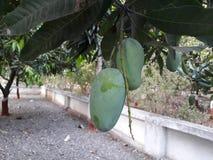 Veronachtzaamd met de mooie twee bomen van de mangomango royalty-vrije stock foto