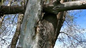 Veronachtzaamde populierbomen en hemel, geschotene verticaal, grote droge die populierboom, door onweer wordt gebroken stock videobeelden