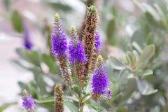Veronica开花紫色 野生药用植物 库存图片
