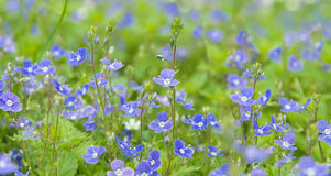 Veronica. Chamaedrys (Germander Speedwell), bird's eye Royalty Free Stock Image