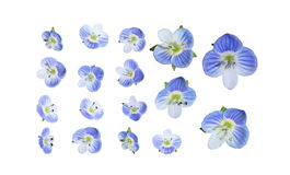 Veronica birdseye Speedwell Royalty Free Stock Images