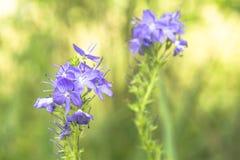 Veronica blommar i solig dag arkivfoto