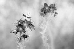 Veronica blommar i svartvitt arkivbilder