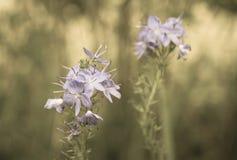 Veronica-blommor i solig dag i sepia färgar arkivfoton