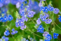 Veronica-chamaedrys - blåttblomningar Royaltyfri Foto