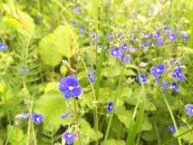 Veronica chamaedrys. Blooms are extremely small royalty free stock photography