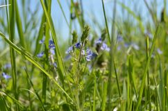 Veronica chamaedrys. Blue flowers. Veronica chamaedrys. Germander speedwell blooms in the afternoon Stock Image