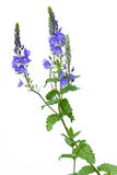 Veronica chamaedrys blue wildflowers. On isolated white background Stock Images