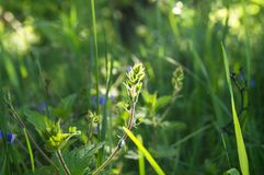 Morning sunlight on the young fleecy buds of Germander speedwell or Veronica chamaedrys close up. Veronica chamaedrys is a herbaceous perennial species of stock photos