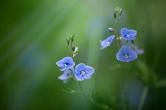 Veronica chamaedrys kwiaty Zdjęcia Stock