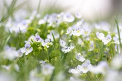 Veronica chamaedrys in nature, close -up. This is flowering plant, species herbaceous perennial stock images