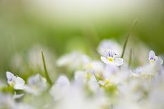 Veronica chamaedrys in nature, close -up. This is flowering plant, species herbaceous perennial royalty free stock photo