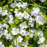 Veronica chamaedrys in nature, top view. This is flowering plant, species herbaceous perennial stock image