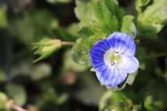 Veronica didyma(popona). Annual to biennial herbs, pubescent. There are three colors of blue, white and powder. Stems from basal branches, creeping lower Royalty Free Stock Image