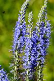 Veronica earthy blue in the woods. Close-up stock photo
