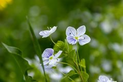 Veronica filiformis - Slender Speedwell - little blue flowers were blooming in the garden. A great natural backdrop for the spring. Veronica filiformis - Slender stock photography