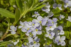 Veronica filiformis - Slender Speedwell - little blue flowers were blooming in the garden. A great natural backdrop for the spring. Veronica filiformis - Slender royalty free stock images