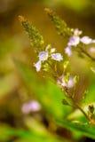 Veronica, fleur de véronique de l'eau photographie stock libre de droits