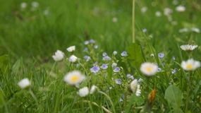 Veronica flower, daisy and dandelion leaf blurred. stock image