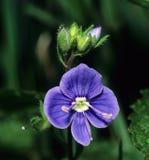 Veronica Flower de rampement images stock
