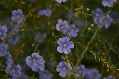 Veronica Flower Fresh, flores da mola no jardim fotos de stock royalty free
