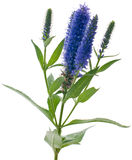 Veronica flowering spikes Stock Images